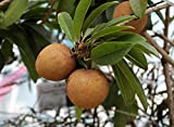 zapote fruit - 10 Manilkara Zapota Seeds,  Achras sapota Chico Sapote, Zapote, Chicle Sapodilla