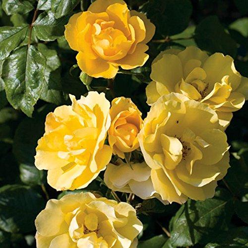 Tequila Gold Rose Bush   Reblooming Yellow Shrub Rose   Low Maintenance Easy to Grow   ()