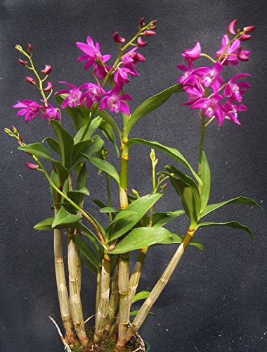 Dendrobium Johnathan's Glory 'Dark Joy' , orchid plant by Unknown