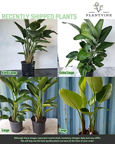 PlantVine Strelitzia nicolai, White Bird of Paradise - Extra Large - 12-14 Inch Pot (7 Gallon), Live Plant by PlantVine (Image #4)