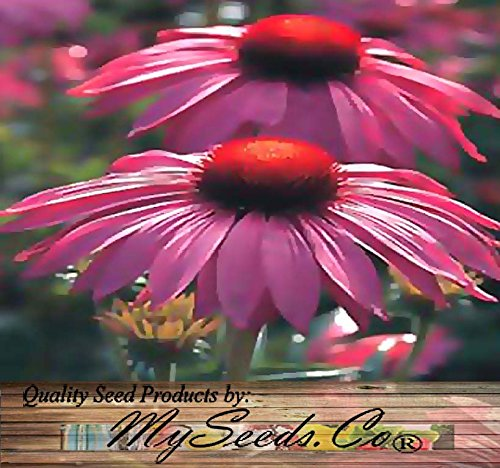 1oz (6,300+ seeds) PURPLE CONEFLOWER ~6'' LG PURPLE BLOOMS Flower Seeds ~Echinacea purpurea BULK