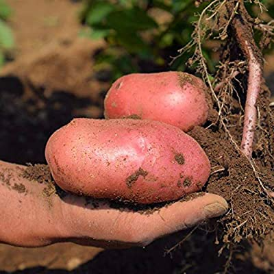 Afco Fruit Vegetable Seeds for Planting,100Pcs Red Skin Potato Seeds Garden Nutritious Delicious Vegetable Farm Plant Potato Seeds: Home & Kitchen