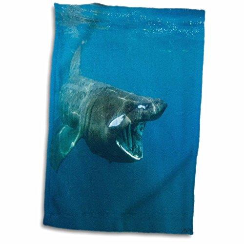3drose-vwpics-sharks-black-basking-shark-cetorhinus-maximus-filter-feeding-on-plankton-near-the-liza