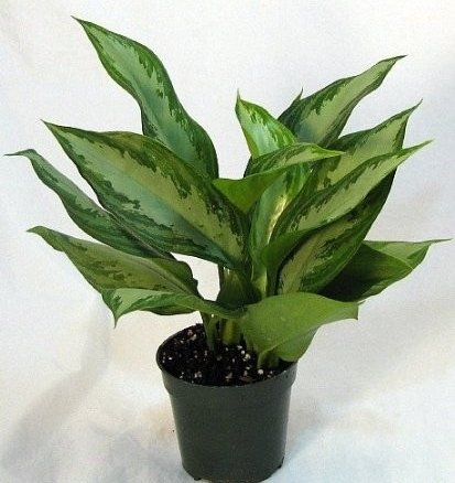 Chinese Evergreen Live Plant