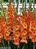 Gladiolus Bulbs (Corms) - Olympic Flame Gladiolus. (10 Seeds Bulbs) Now Shipping !