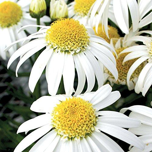 (Burpee Alaska Shasta Daisy Seeds 300 seeds)