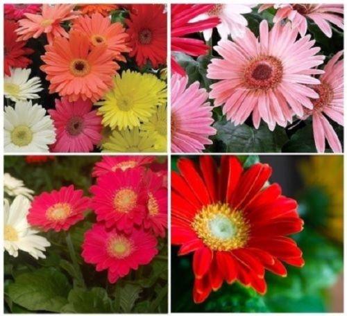 20+ Gerbera Daisy Mix California Giant/Annual Flower (Gerbera Daisies 20 Stems)