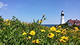 Home Comforts Peel-n-Stick Poster of Lanceleaf Lighthouse Beacon Coreopsis Lanceolata Poster 24x16 Adhesive Sticker Poster Print