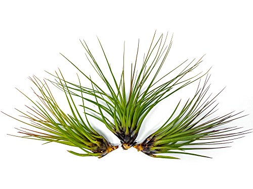 Aquatic Arts 3 GIANT Tricolor Air Plants - 7 to 8 inch Tillandsia - Live House Plants for Sale - Indoor Terrarium Air Plants, 0.3 Pound (Pack of 3) by Plants for Pets