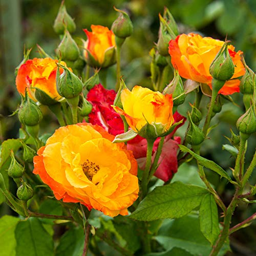 Spring Hill Nurseries - Joseph's Coat Climbing Rose, Live Bareroot Plant with Yellow/Orange/Pink Colored Flowers (1-Pack) by Spring Hill Nurseries (Image #1)