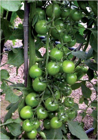 - Fruit seeds green agate tomatoes cherry tomatoes bonsai 20 Original packaging seeds for Home Garden indoor Bonsai