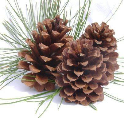 Ponderosa Pine Cones From Sierra Nevada Mountains for Arts and Crafts - 50ct