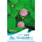 Generic 1 Pack 30 Seeds Foliage Mimosa Pudica seeds