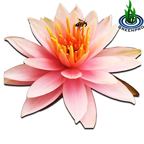 Live Aquatic Plant Orange Nymphaea Colorado Hardy Water Lilies Tuber for Aquarium Freshwater Fish Pond by Greenpro