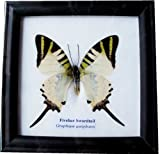 REAL BEAUTIFUL FIVEBAR SWORDTAIL BUTTERFLY DISPLAY INSECT TAXIDERMY
