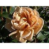 バラ苗 カフェ 7号スリット大苗 木立バラ 四季咲き 茶色 バラ 苗 薔薇 バラ苗木 np