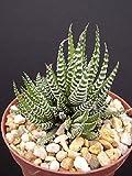 """Haworthia Attenuata, Zebra Zebrina Exotic Rare Succulent Cactus Plant Cacti 4"""""""