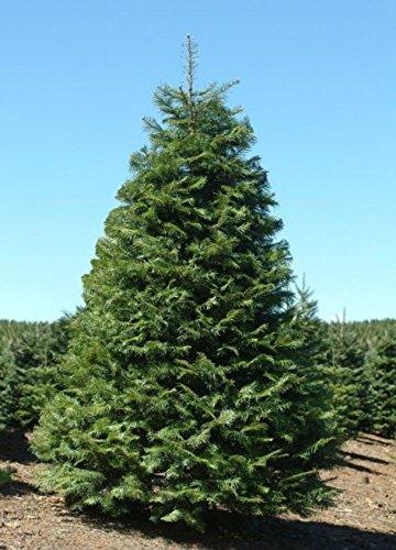 Amazoncom The Dirty Gardener Abies Grandis Grand Fir Trees 500