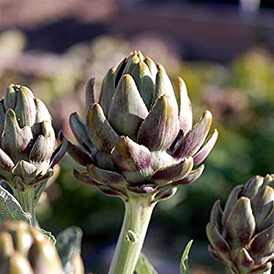 Artichoke Garden Seeds - Green Globe Variety - Bulk Vegetable Gardening Seed - Non-GMO, Heirloom