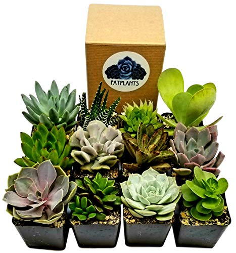 Succulent Plants in Planters with Soil - Living Succulents in 2 Inch Plastic Pots Variety Packages for Cactus and Succulent Decor, Gifts, Showers and Wedding Decorations by Fat Plants San Diego (Topiary Card)