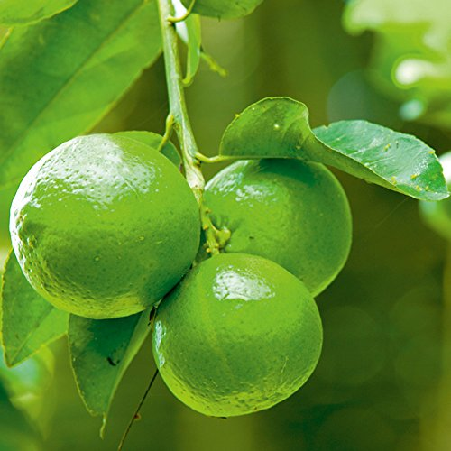 Earth Seeds Co 20 Pcs Citrus Lime Seeds Organic,Very high in Vitamin C,Fruit Trees Seeds Ideal for Patio pots and containers (Trees For Patios Pots Uk In)
