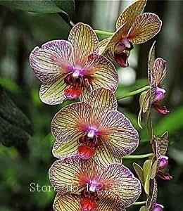 La venta caliente 50pcs rara orquídea Cymbidium, Cymbidiums semillas africanas, semillas de flores bonsai, plantas para el jardín de correo
