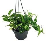 "Golden Devil's Ivy - Pothos - Epipremnum - 6"" Hanging Pot - Clean Air Machine"