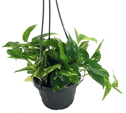 Plants that don't need sunlight -Pothos (Money Plant)