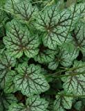 Lumos80 50+ HEUCHERA Dale's Strain Flower Seeds, Americana, Fragrant, Shade Plant, Easy
