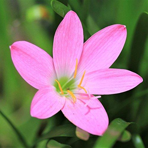 Pink Rain Lily, 25 Bulbs. by EGBULBS