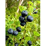 20 BILBERRY Fruit Shrub European Blueberry Vaccinium Myrtillus Seeds*Flat Shipping