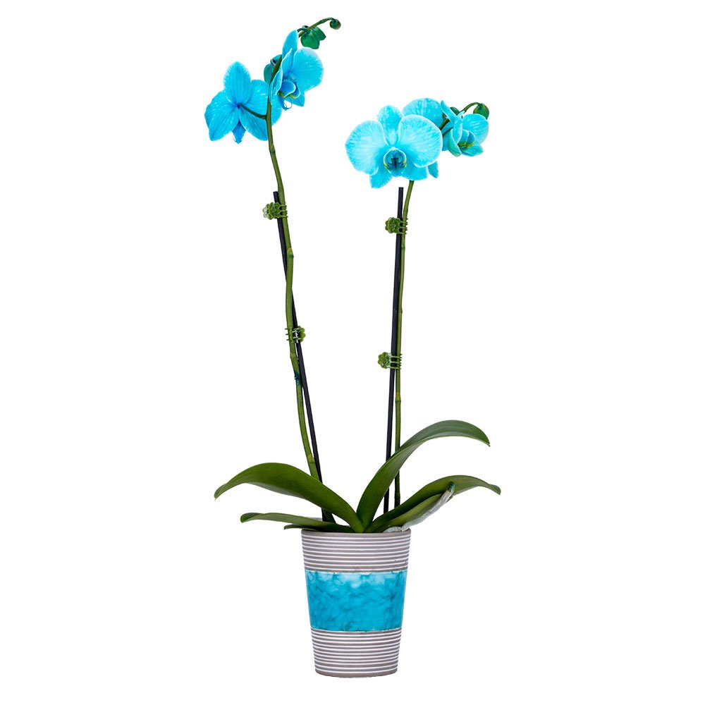 DecoBlooms Living Aqua Orchid Plant - 3 inch Blooms - Fresh Flowering Home Décor
