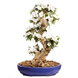 Brussel's Bonsai ST2417SA-F Specimen Bonsai