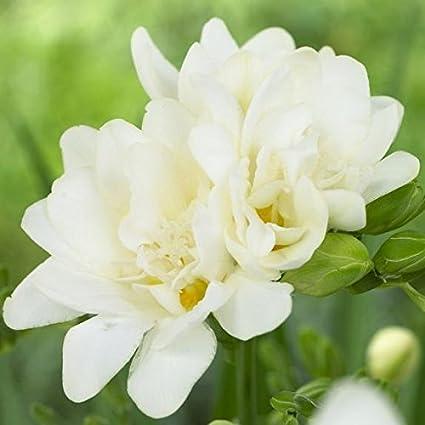 Kraft Seeds Freesia Flower Bulbs White Set Of 8 Amazon