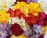 (6) Fragrant and Beautiful Freesia Blooming Sized Bulbs