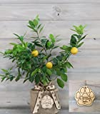 Pet Medium Meyer Lemon Gift with Personalized Pet Keepsake Ornament by The Magnolia Company - Dwarf Fruit Tree with Juicy & Delicious Lemons, Indoor/Outdoor Live Potted Citrus Tree for Pet