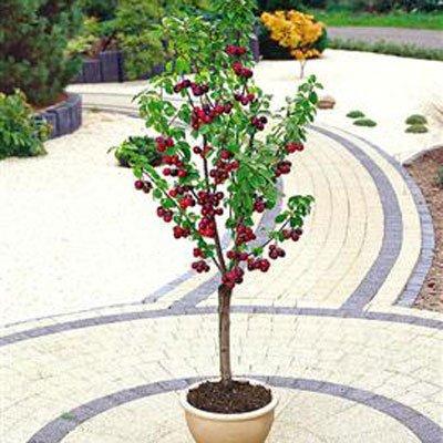 #1209 Sweet Mazzard Cherry Tree Seeds