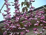 Purple Hyacinth Bean- 10+ Seeds, Dolichos, Lablab, Great on Trellis, Drought Tolerant