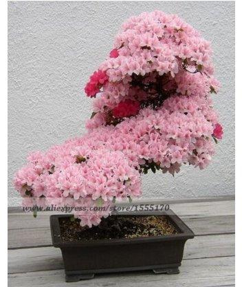 10 PCS ,Prunus Serrulata Japanese Sakura Flowering Cherry Bonsai Tree Seed