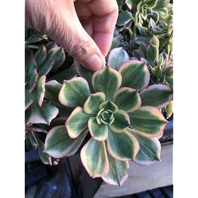 Plant-1 Cutting - Aeonium Sun Burst Succulent Flower : Garden & Outdoor