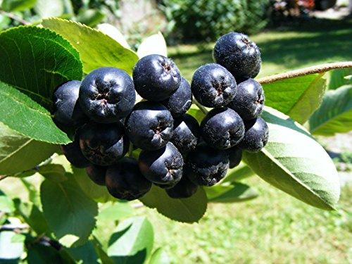 Chokeberry - 'Viking' - Aronia melanocarpa