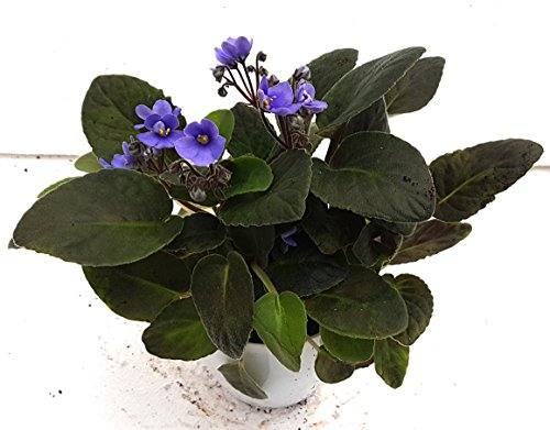 CAPPL Nursery Air Purifying African Plant (Pot Included) with...