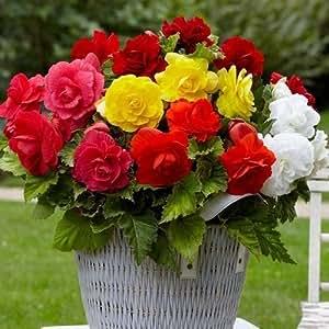 Begonia Double Mix Flower Seeds (Begonia Tuberosa) 30+Seeds