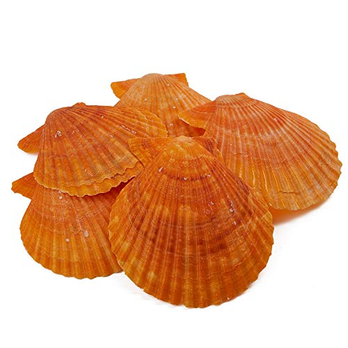 - Scallop Seashell 1 Box(10pcs) Natural Beach Shells for Home Decoration, Vase and Fish Tank Fillers, DIY Craft, Beach Party- Decolife