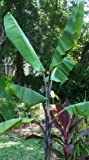 Musa balbisiana atia black - Winterharte Banane - 10 Samen