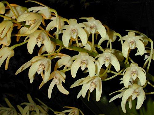Dendrobium speciosum ssp pedunculatum - Orchid Plant - Fragrant - Easy-Grower - indigenous to Australia (Dendrobium Orchid Care)