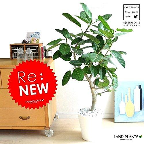 LAND PLANTS ベンガレンシス 白セラアート鉢 ベンガルゴム B06XCHX5M5