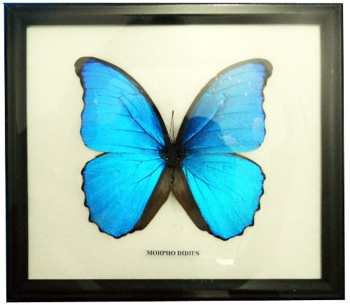 Framed Big Real Beautiful Morpho Didius Butterfly Display Insect Taxidermy