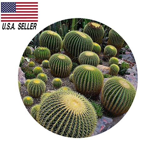 Barrel Cactus Seeds - 100+ Beautiful ECHINOCACTUS GRUSONII Golden Barrel Cactus Seeds USA-Seller !