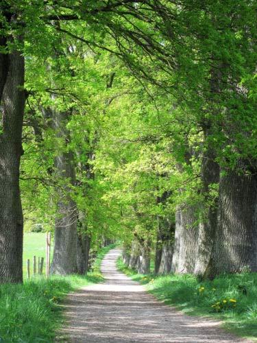 (5 Laurel Oak Tree Quercus Hemisphaerica Native aka Darlington Coastal Sand Seeds)